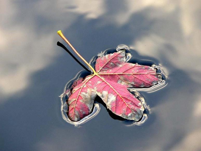 Herfstblad op water, November 06